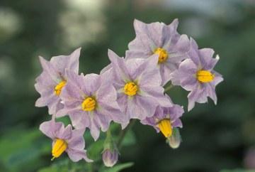 Erdäpfel_Blüte