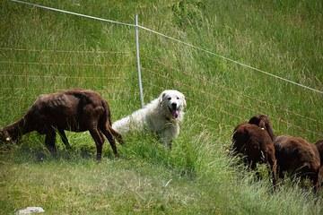 Herdenschutzhund (c) Dagmar Breschar