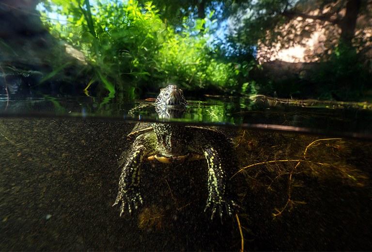 © Sumpfschildkröte © Benedikt Reisner