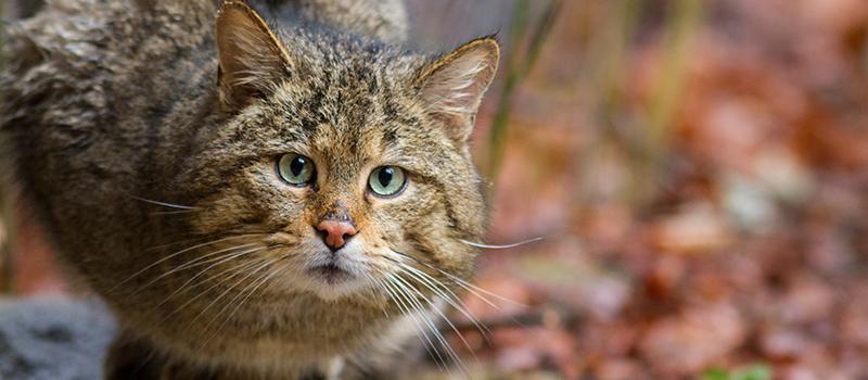 © Wildkatze aus Gehege Nationalpark Bayerischer Wald (c) Marc Graf